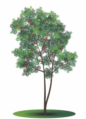 Rowan tree horoscope - image of the tree