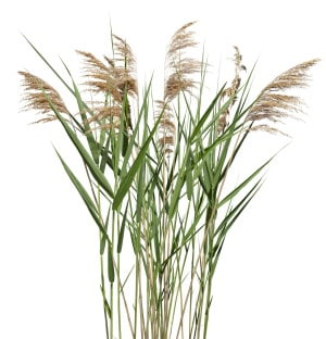 Celtic Reed horoscope image