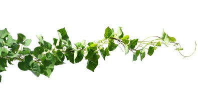 Celtic Ivy horoscope image